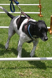 Black and white dog performing cavaletti training